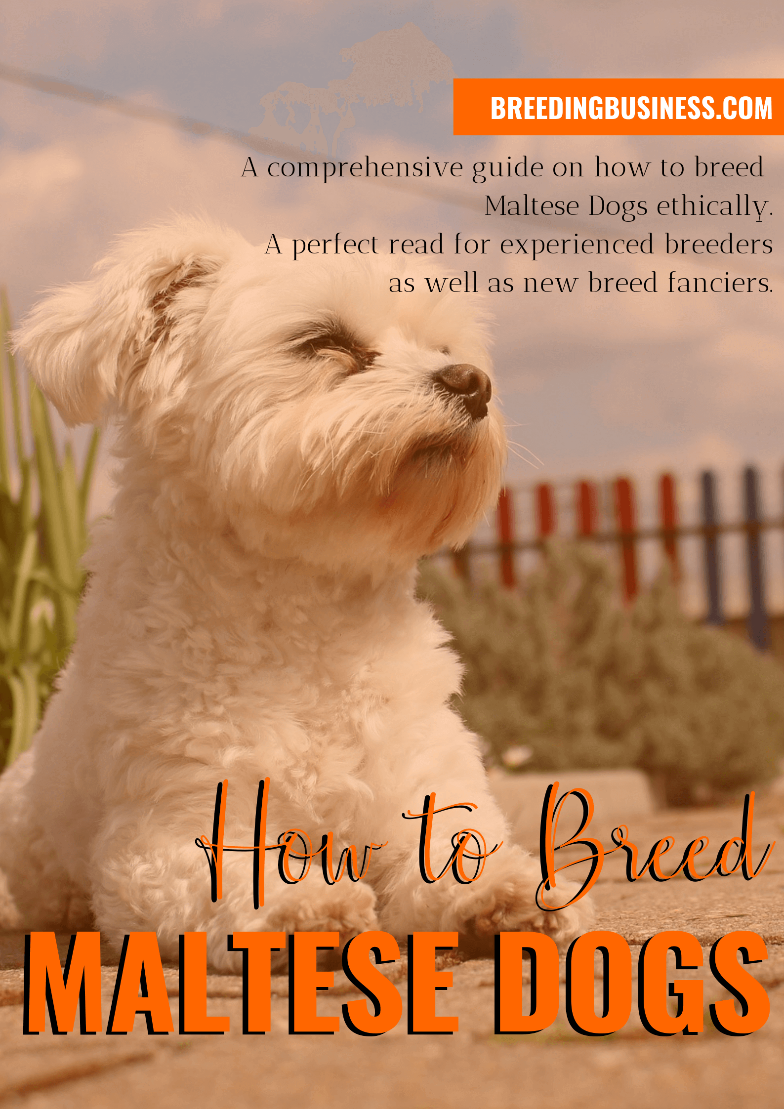 breeding Maltese dogs