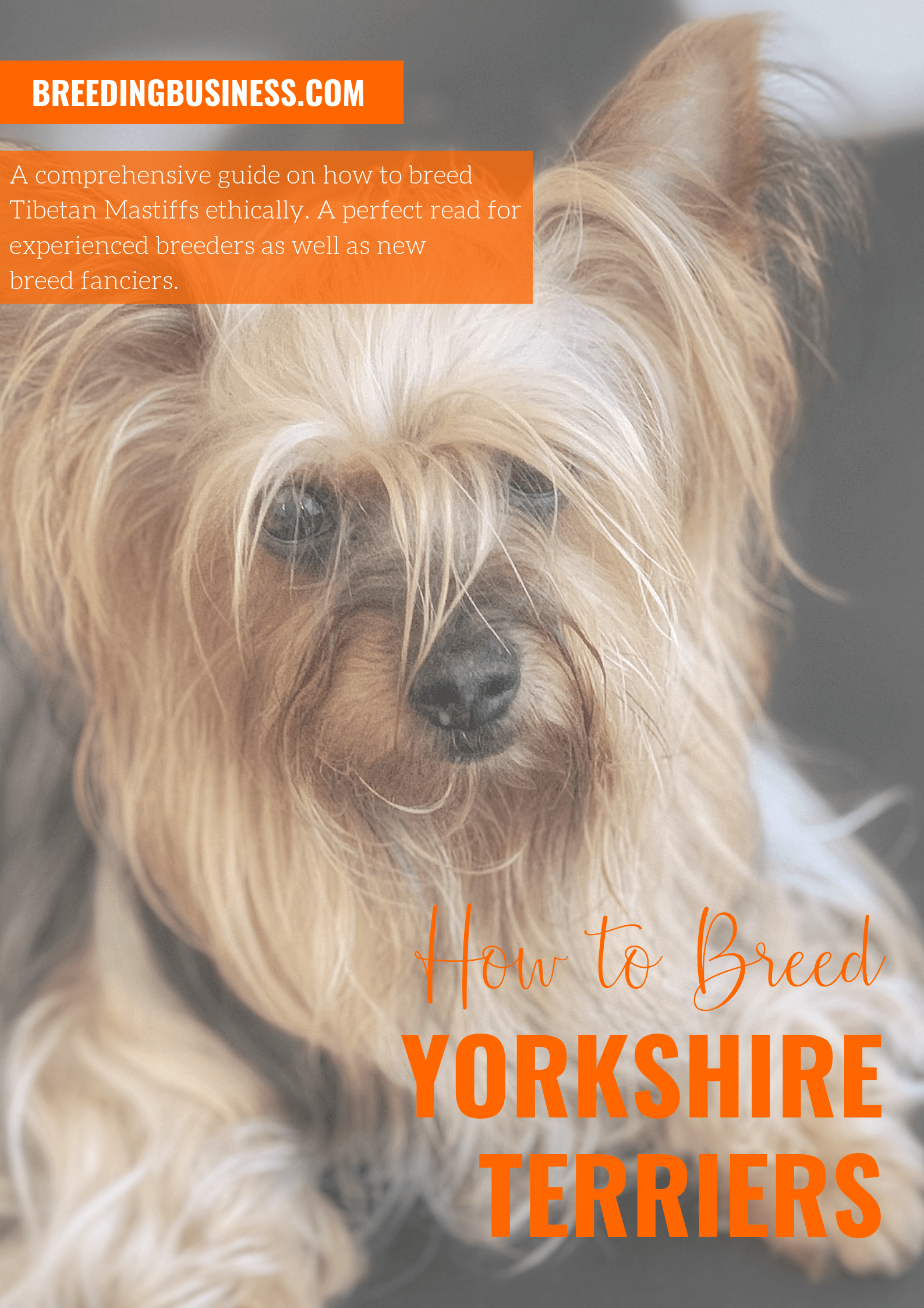 breeding Yorkshire Terriers