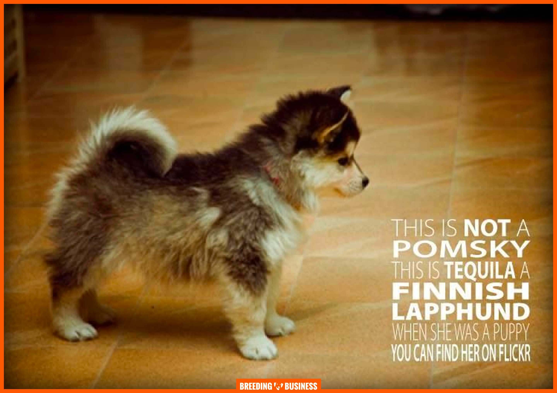 pomsky vs finnish lapphund