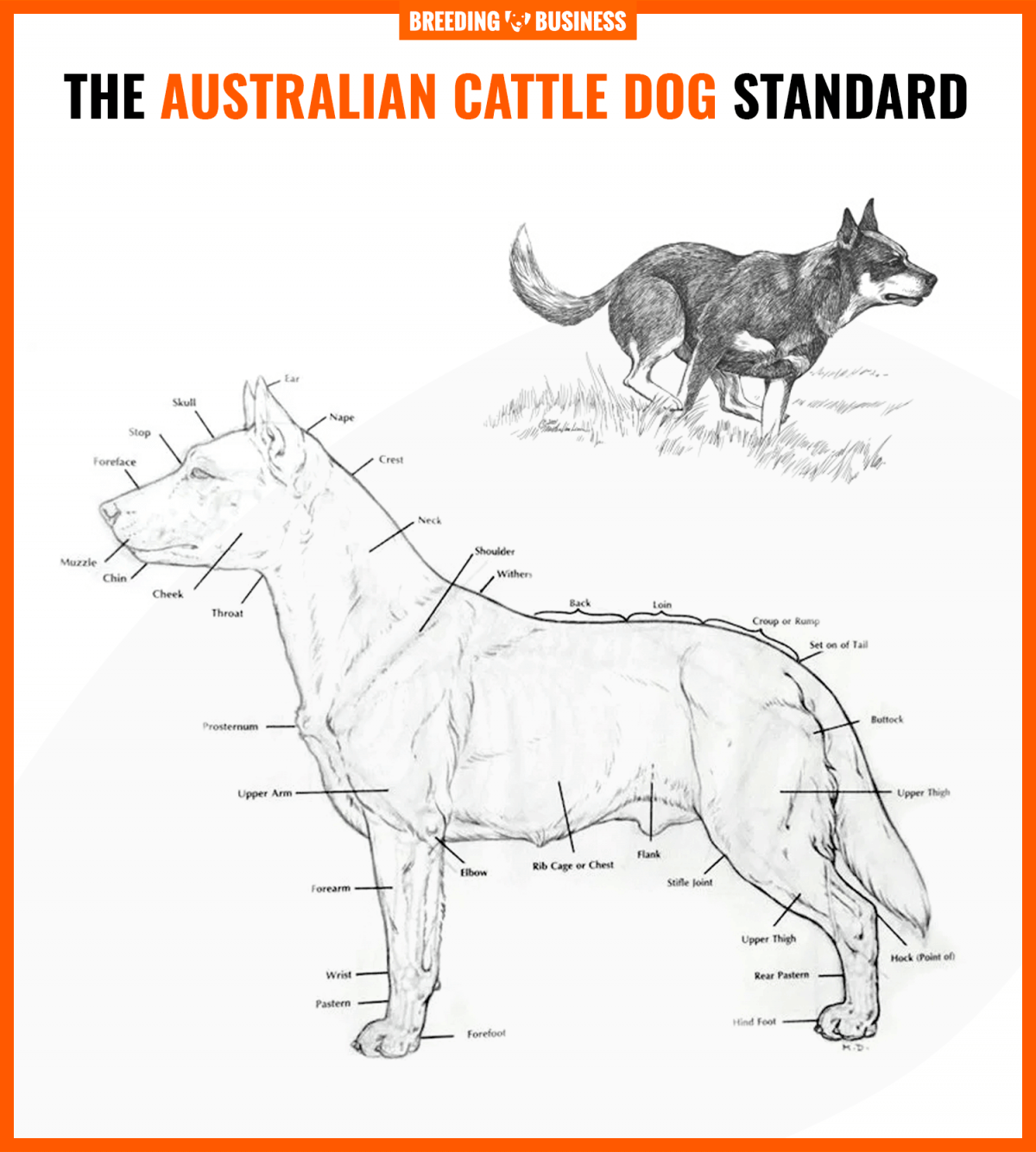 Australian cattle dog standard