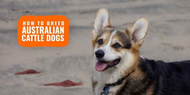 how to breed australian cattle dogs