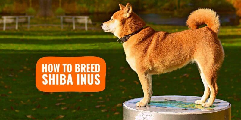 how to breed shiba inus