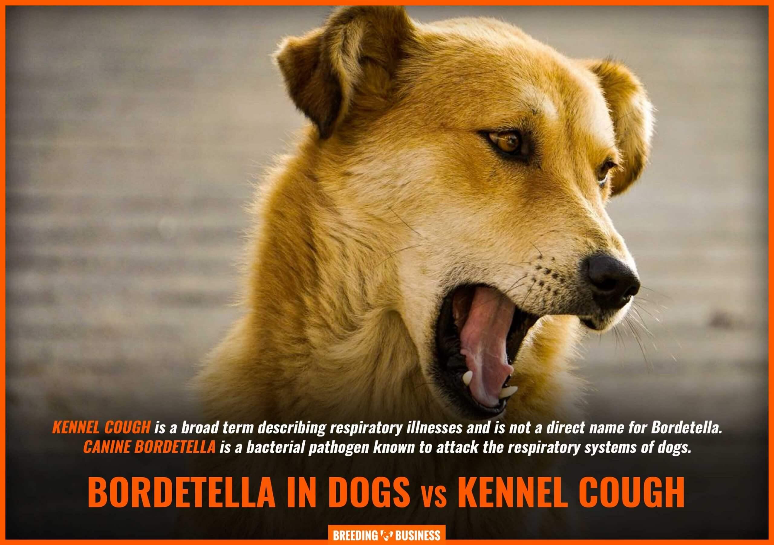 kennel cough vs bordetella in dogs