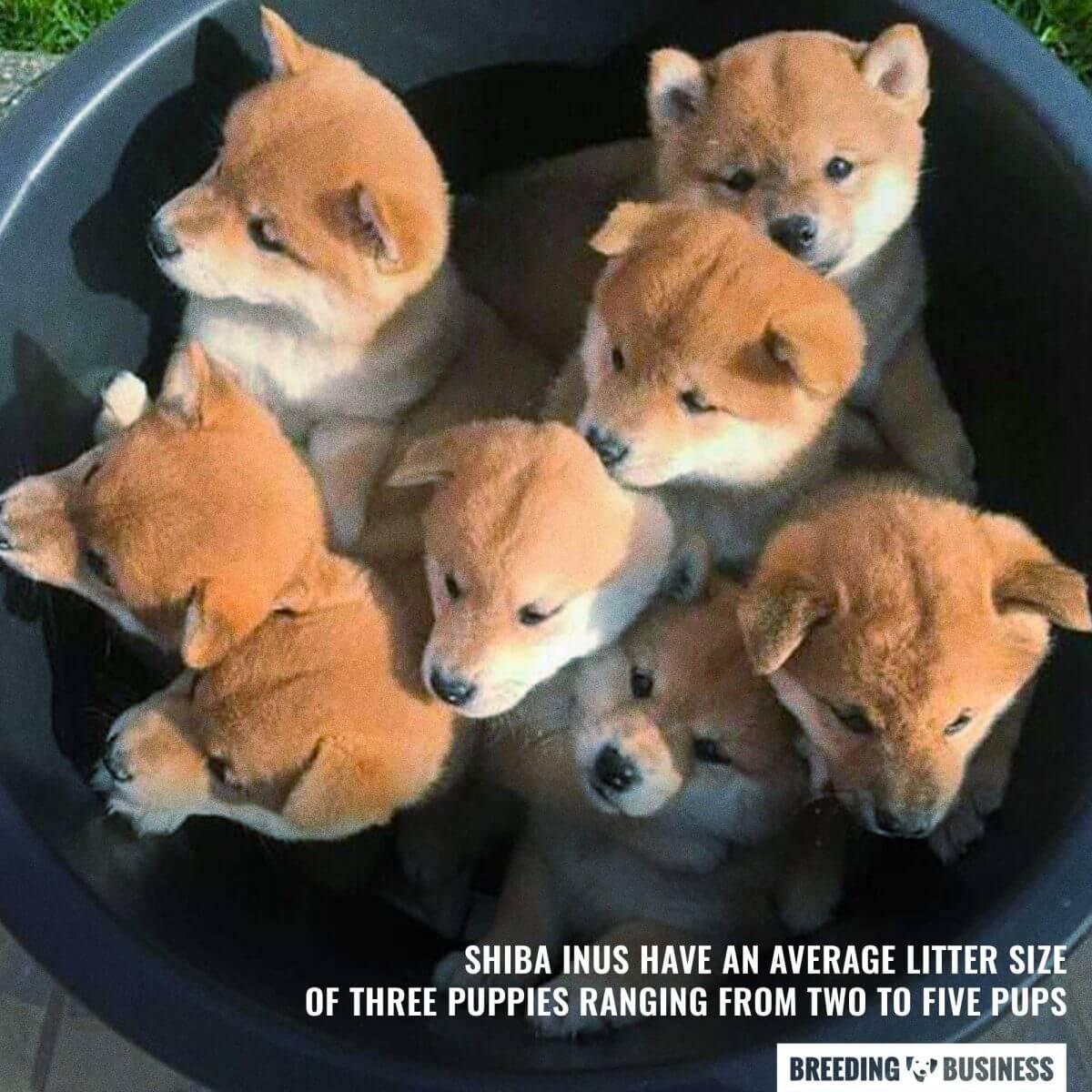 shiba inu puppy litter size
