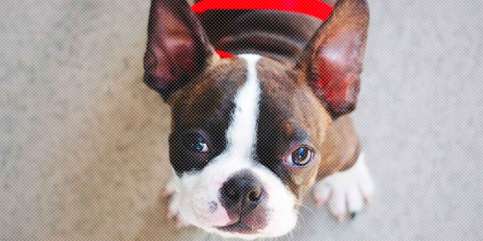 Boston Terrier Breed Information Profile Of The American Gentleman