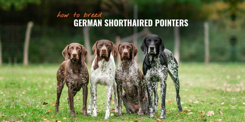 How To Breed German Shorthaired Pointers