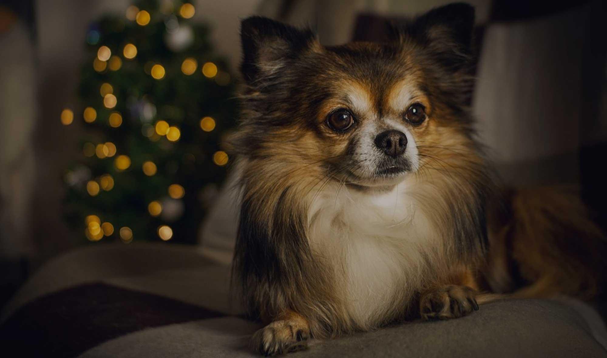 120 Chihuahua Dog Names Ideal Chihuahua Puppy Name Ideas