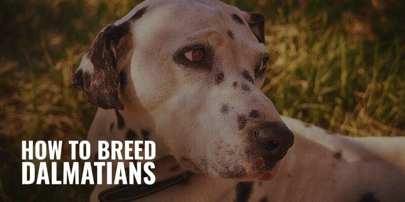 How To Breed Dalmatians – Heat, Litter Size, Health & Breeding Practices