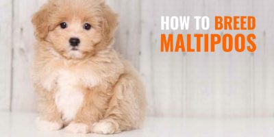 How To Breed Maltipoos