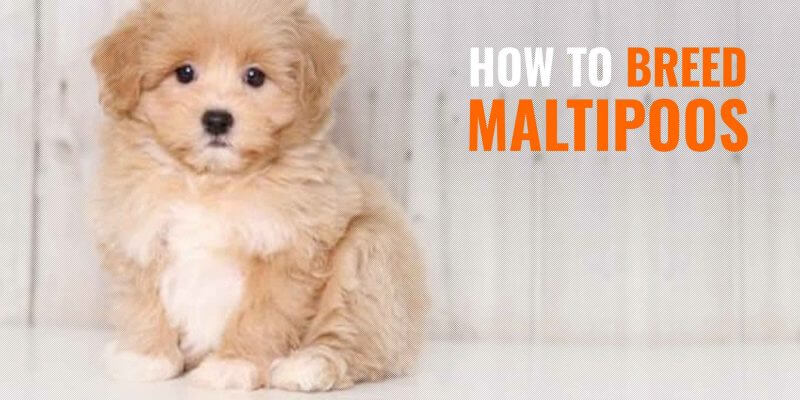 How To Breed Maltipoos Health Apperance Temperament Faq