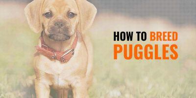 How To Breed Puggles