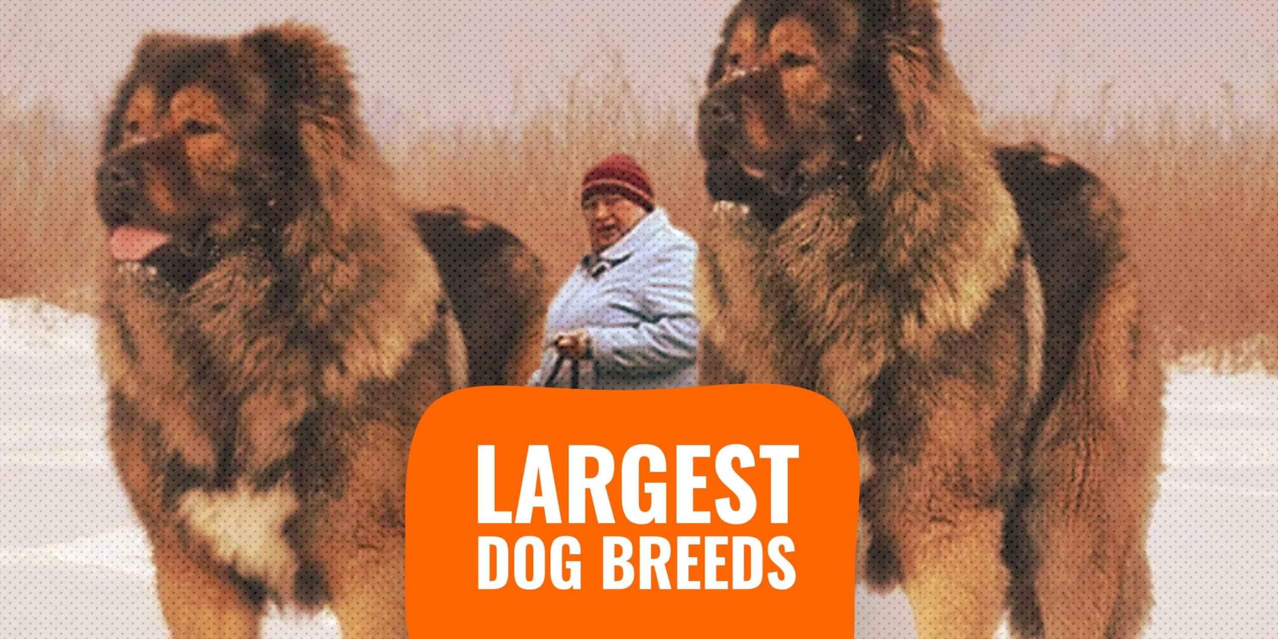 20 Largest Dog Breeds – Sizes, Rankings