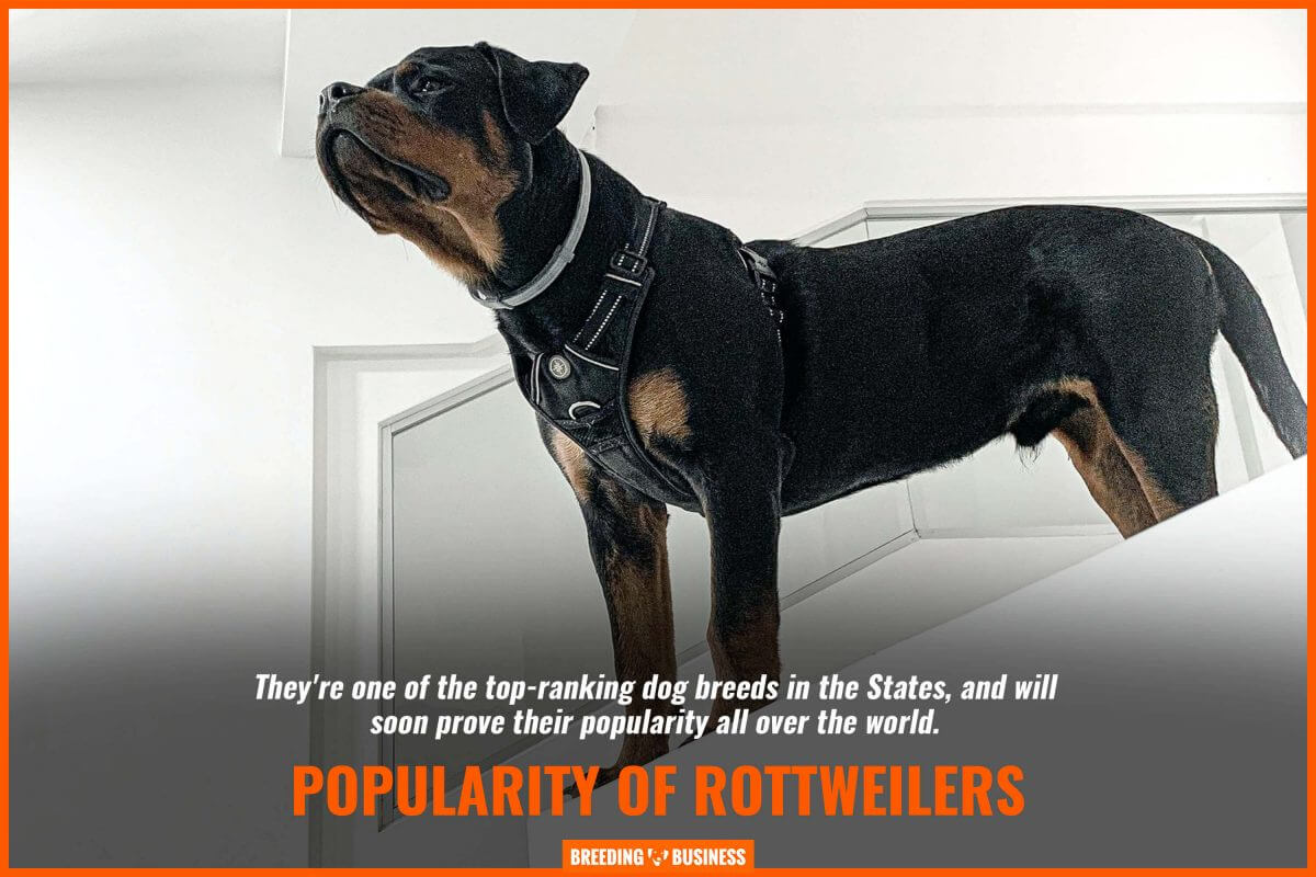 popularity of rottweilers