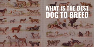 what is the best dog to breed