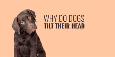 why do dogs tilt their head
